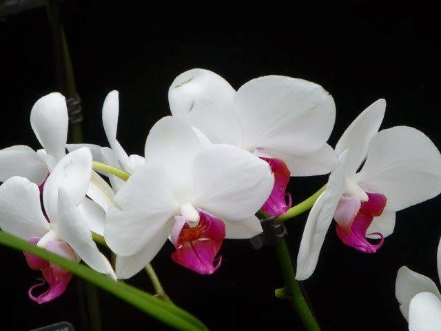 Orchid festival kew gardens.